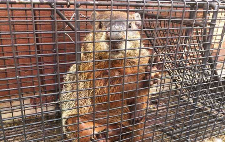 Penn Yan Animal Control Groundhog