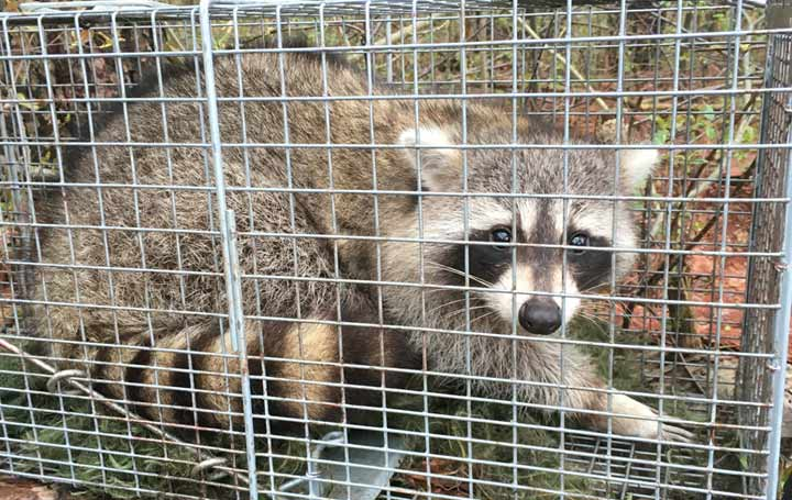 Penn Yan Animal Control Raccoon